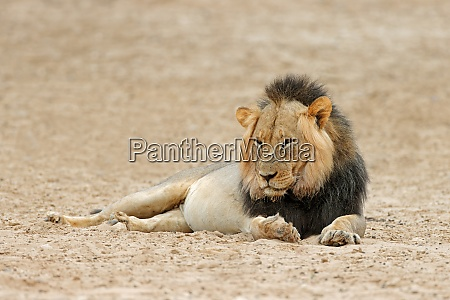 male african lion resting