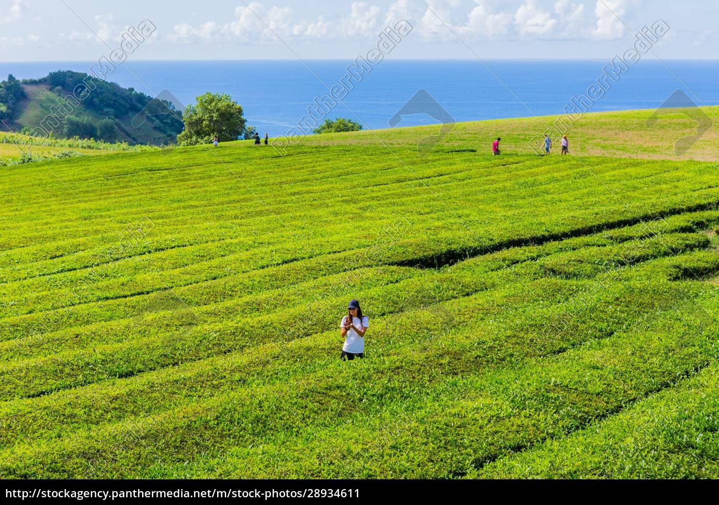 tea, factory, cha, gorreana - 28934611