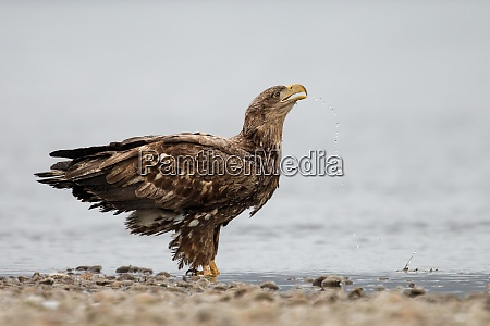 thirsty white tailed eagle standing in