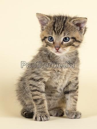 mammal wildcat 2020 32859