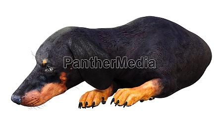 3d rendering dachshound on white