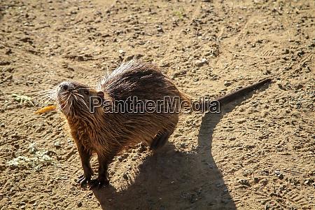 nutrias muskrat ondatra zibethicus on the