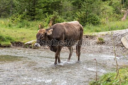 brown cow runs around freely