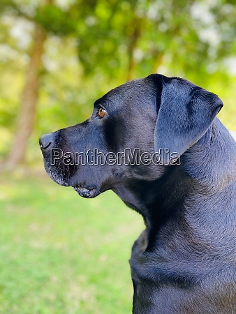 black and blue labrador sitting