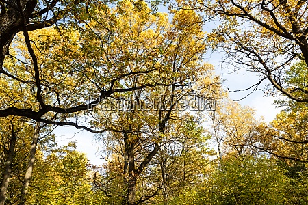 oak trees and branches with yellow