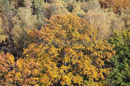 large oak tree with lush yellow