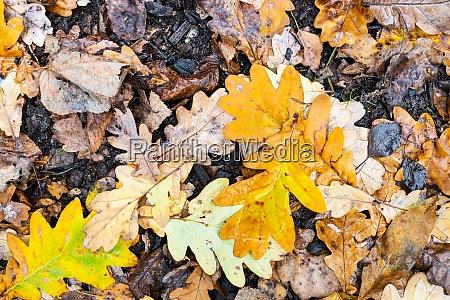 wet yellow fallen leaves of oak