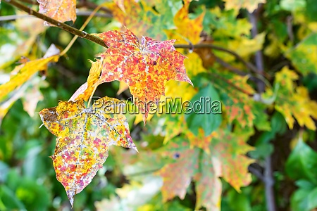 spotted leaves of maple trees close