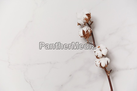 cotton flower branch on white marble