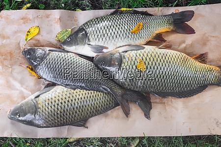 fresh river fish carp caught in
