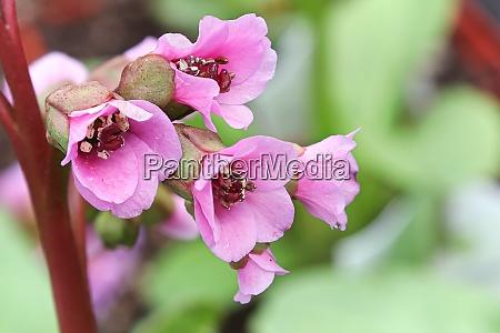 macro view of pink bergenia flowers