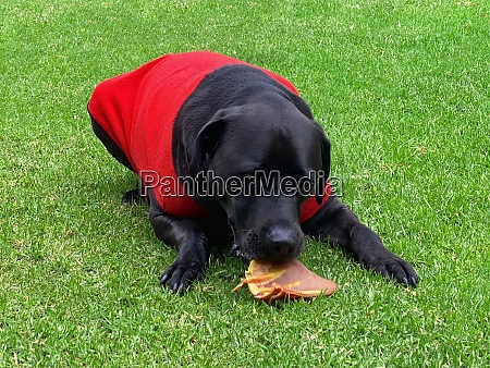 labrador eating a treat on the