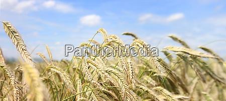 barley field panorama in the summer