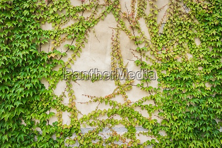 an old wall covered with ivy