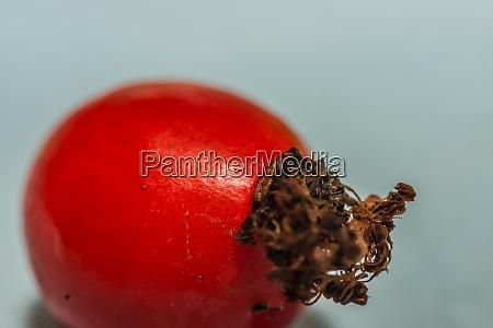 red fresh rose hip detail view