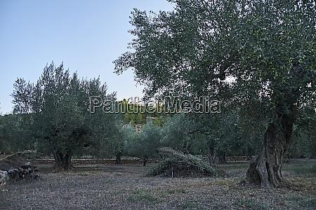 olive groves full of olives for