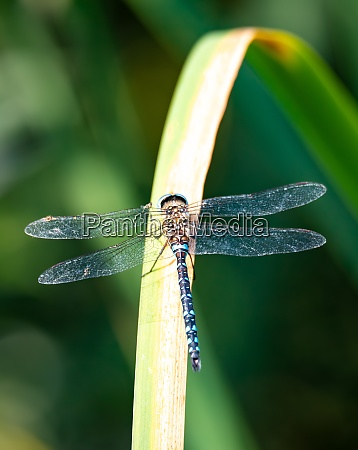 dragonfly aeshna cyanea insect in natural