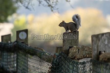 grey squirrel sciurus carolinensis resting on