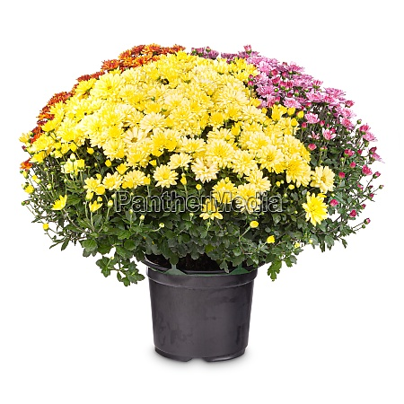 bouquet of colorful chrysanthemum