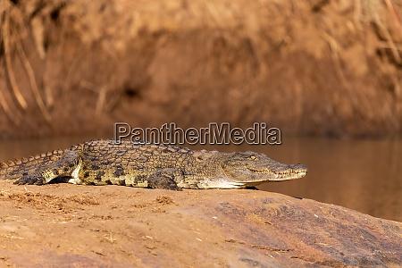 crocodile in pilanesberg national park south