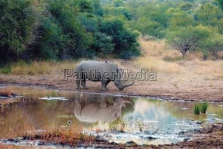 white rhinoceros pilanesberg south africa safari