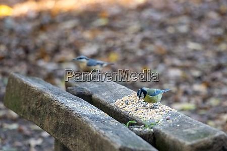 blue tit feeding on seed spread