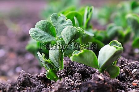 macro view of pea plants seedlings