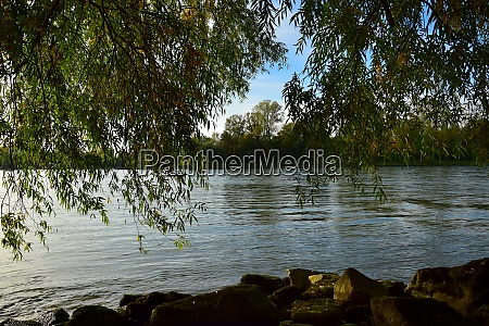 willow tree branches and river rhine
