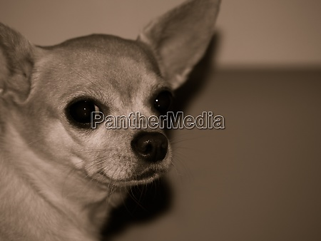 portrait of a chihuahua dog