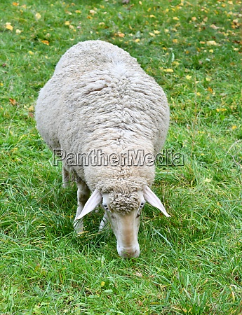sheep on the green pasture