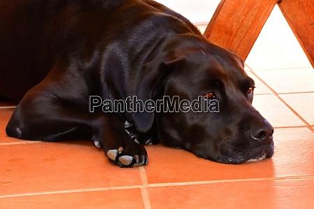 a sad black labrador retriever on