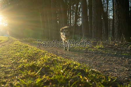 dog goes for a walk at