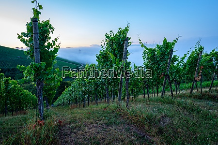 vineyard in dawn with morning mist
