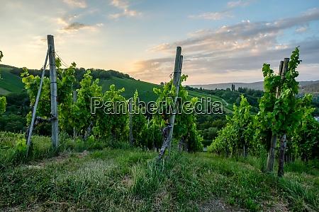 vineyard with vines in dawn