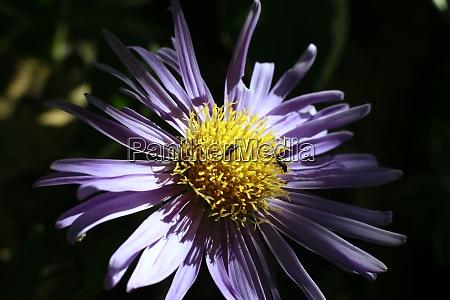 alpine aster or blue alpine daisy