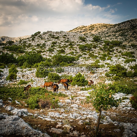 wild horses in the biokovo national