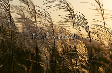 evening silver grass in japan