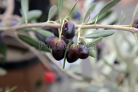branch of black olives