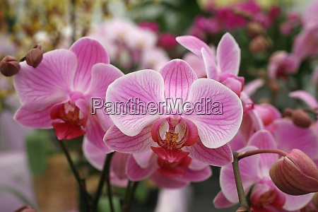 beautiful pink orchid flowers cluster