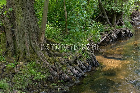 tree roots on the bank of