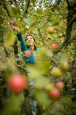 cute young woman picking apples in