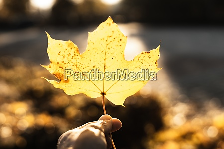 holding autumn maple leaf in hand