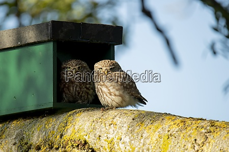 little owl mother and infant