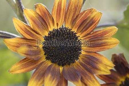 little becka sunflower