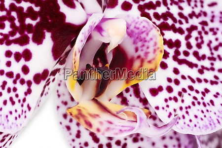 orchid purple macro