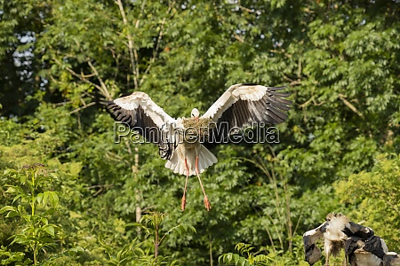 stork flying with food