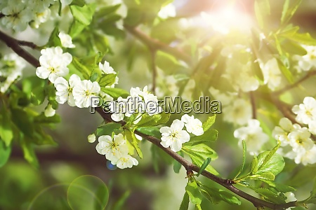plum blossoms with sunlight