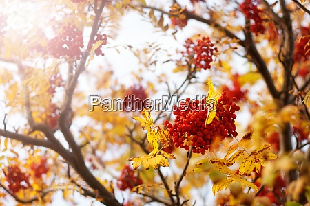 rowan tree branches in autumn