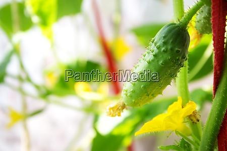 cucumber in greenhouse