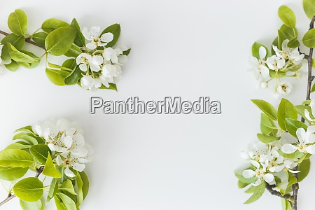 blooming spring pear branches on a